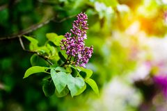 Beautiful blooming lilac flowers Royalty Free Stock Image