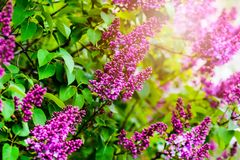 Beautiful blooming lilac flowers Stock Photography