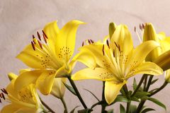 Beautiful blooming lily flowers royalty free stock images