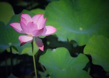 Beautiful blooming lotus stock photography