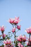 The beautiful blooming magnolia flower in garden Royalty Free Stock Image