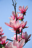 The beautiful blooming magnolia flower in garden Stock Photos