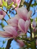 Beautiful blooming magnolia flower stock image
