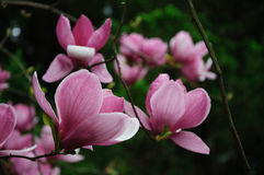 Beautiful blooming magnolia flowers Royalty Free Stock Photo