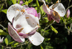 Beautiful blooming magnolia tree Royalty Free Stock Image