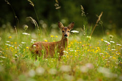 Beautiful blooming meadow with many white and yellow flowers and animal, Roe deer, Capreolus capreolus, chewing green leaves. Beautiful blooming meadow with many Stock Photos