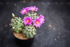 Beautiful blooming notocactus cactus purple flowers. On dark backgrounds royalty free stock photo