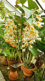 Beautiful blooming orange  orchid flowers Stock Photography