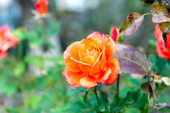 Beautiful blooming orange rose in the garden close-up. Beautiful blooming orange rose in the garden close-up royalty free stock photography