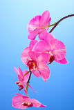 Beautiful blooming orchid Royalty Free Stock Photography