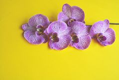 Beautiful blooming orchid. Royalty Free Stock Photography