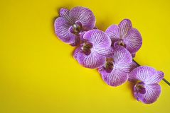 Beautiful blooming orchid. Stock Photo