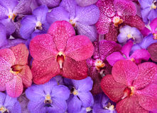 Beautiful blooming orchid Stock Image