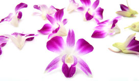 Beautiful blooming orchid isolated Stock Images