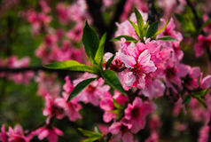 The beautiful blooming peach flowers in spring Stock Photography