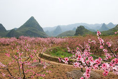 The beautiful blooming peach flowers in spring Stock Photos