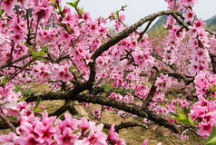 The beautiful blooming peach flowers in spring Royalty Free Stock Images