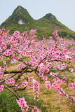 The beautiful blooming peach flowers in spring Stock Photo