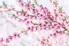 Beautiful blooming peach trees in spring on a Sunny day Royalty Free Stock Photos