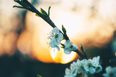 Beautiful blooming peach trees in spring Royalty Free Stock Photo