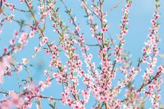 Beautiful blooming peach trees in spring on a Sunny day Royalty Free Stock Photo