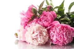 Beautiful blooming peonies Stock Photo