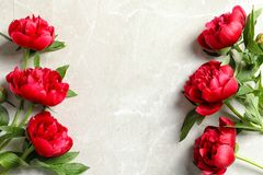Beautiful blooming peony flowers on light background. Top view Stock Photos