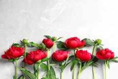 Beautiful blooming peony flowers on light background. Top view Stock Image