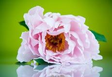 Beautiful blooming peony Royalty Free Stock Photos