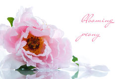Beautiful blooming peony Royalty Free Stock Photo