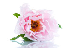 Beautiful blooming peony Royalty Free Stock Photography
