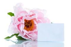 Beautiful blooming peony Stock Image