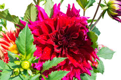 Beautiful blooming petals dahlia macro of raindrops, closeup, is Royalty Free Stock Photos