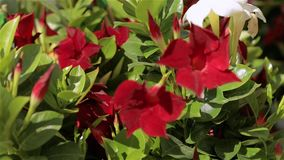 Beautiful blooming petunia. Large light greenhouse. Blooming flowers in the greenhouse stock video