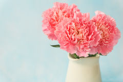 Beautiful blooming of pink carnation flowers Royalty Free Stock Photography