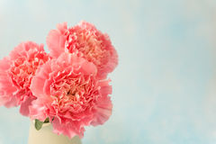 Beautiful blooming of pink carnation flowers Royalty Free Stock Photo