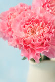 Beautiful blooming of pink carnation flowers Royalty Free Stock Photos