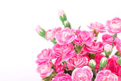Beautiful blooming of  pink carnation flowers on a white backgro Royalty Free Stock Photo