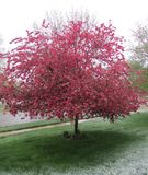 Beautiful crab apple tree blooming in late spring snow. Beautiful blooming pink crab apple tree surprised by morning snow royalty free stock photos