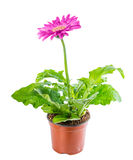 Beautiful blooming pink flower gerbera in flowerpot is isolated Stock Image