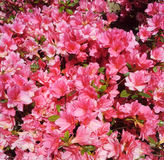 Beautiful blooming pink flowers Royalty Free Stock Photography