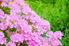 Beautiful blooming pink geranium flower like as background, closeup royalty free stock photos