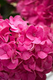 Beautiful blooming pink hydrangea flowers Royaltyfria Bilder