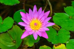 Beautiful blooming pink lily in a pond. Closeup stock photography
