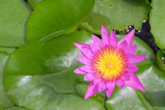 Beautiful blooming pink Lotus. Beautiful blooming pink water lily Lotus Flower in the pond Royalty Free Stock Photography