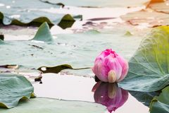 beautiful blooming of pink lotus in pool,lily water blossom,flow Royalty Free Stock Photography