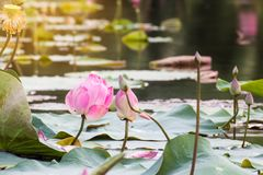 beautiful blooming of pink lotus in pool,lily water blossom,flow Royalty Free Stock Image