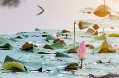 beautiful blooming of pink lotus in pool,lily water blossom,flow Stock Images