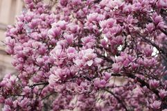 Beautiful blooming pink magnolia branch. Floral blurred background. Close-up, soft selective focus stock photography