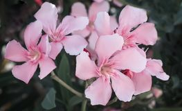 Beautiful blooming pink oleander Bush . Stock Photos